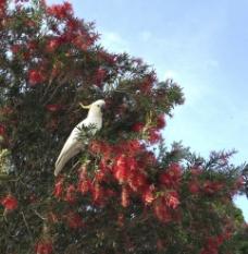 澳洲白鹦鹉图片