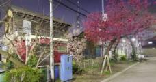 日本樱花街道图片