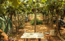 葡萄 葡萄园图片