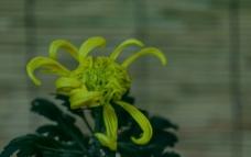 跳动的黄色菊图片