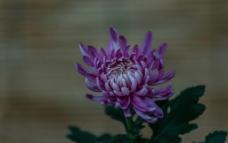 神秘的紫色菊图片