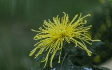 飘逸的黄色菊图片