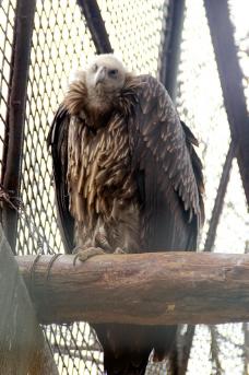 秃鹫 秃鹰 鸟类 动图片