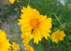野菊花 花儿 蜜蜂图片