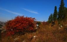 红色的树图片