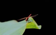 秋日红蜻蜓图片