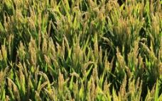 水稻成熟时图片