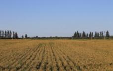 美丽稻田图片