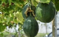 野葫芦 瓜蒌籽图片