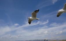 茵莱湖上红嘴鸥图片