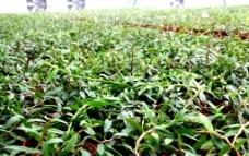 铁皮石斛规模种植图片
