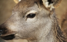 羚羊的眼睛图片