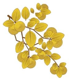 黄金果实茶籽
