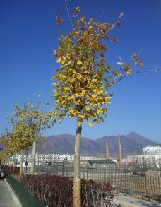 树叶黄了图片