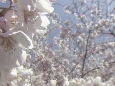 樱花盛开视频素材