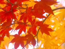秋天枫叶视频素材