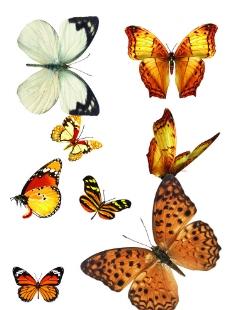 蝴蝶 素材图片