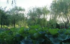 荷叶与柳树图片