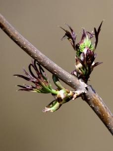 春天的树芽图片