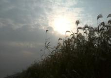 武汉江滩美景 芦苇图片