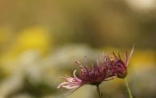 瘦西湖菊花图片