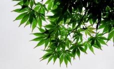 枫叶剪影图片