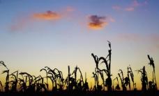 玉米杆剪影图片