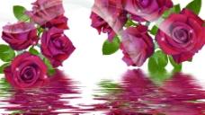 水中玫瑰圖片