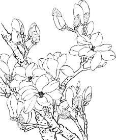 玉蘭花矢量圖圖片
