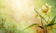百合花 绘画图片