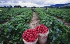 草莓丰收图片