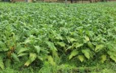 植物 烟叶图片