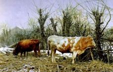 北方黄牛图片