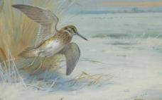 飞翔的水鸟图片