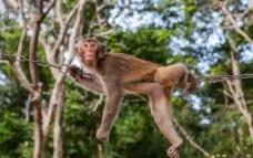 铁链上的猴图片