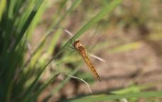 蜻蜓草丛绿色自然图片
