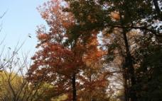 一棵枫树图片