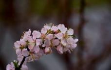 枝头怒放的碧桃图片