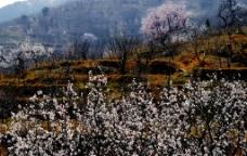 春天梨花开放图片