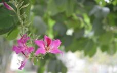 漓江边的紫荆花图片
