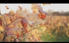 葡萄园视频素材