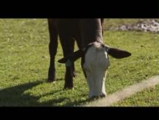 奶牛吃草视频素材