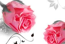 粉色玫瑰图片